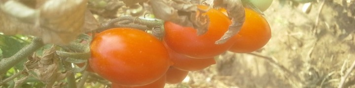Prodotti dell'orto: pomodorini pendolini fanesi