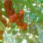 Bruschetta al pomodoro, la ricetta classica