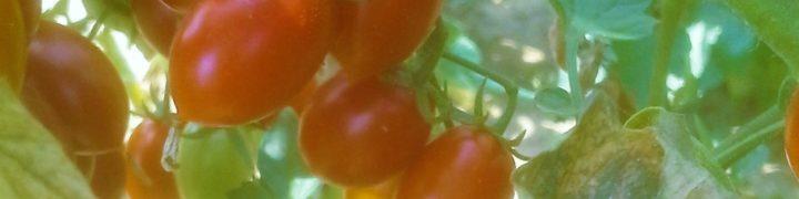 Pomodori Bruschetta