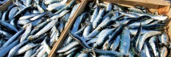 Riconoscere la freschezza del pesce azzurro